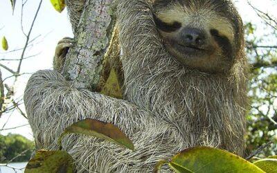 Év vége és a panamai törpe háromujjú lajhár…