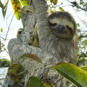 pygmy-sloth-sloth-bradypus-pygmaeus-three-toed-sloth