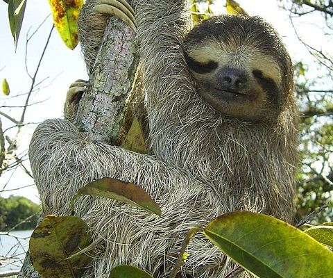 pygmy-sloth-sloth-bradypus-pygmaeus-three-toed-sloth